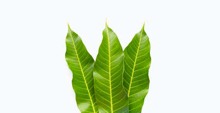 Mango leaves on white background. Top view