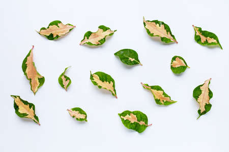 Tropical plant, Caricature plant leaves on white background.