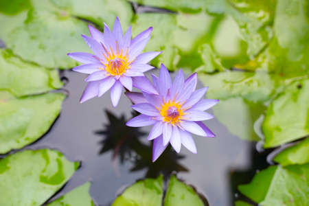Purple water lilies, Violet lotus blooming in the pond. Colorful flower garden