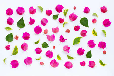 Beautiful red bougainvillea flower with leaves on white background.