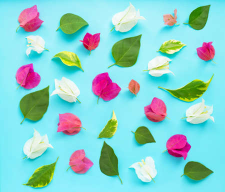 Beautiful red, pink and white bougainvillea flower on blue background. Top view