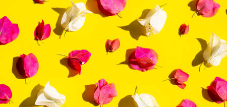 Beautiful red and white bougainvillea flower on yellow background. Top view