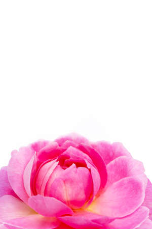 Rose flower isolated on white background. Copy space 写真素材