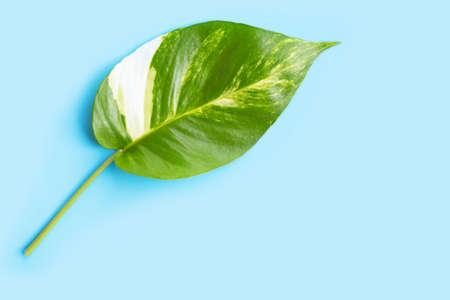 Golden pothos or devils ivy leaf on blue background. Copy space Stock Photo