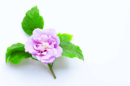Beautiful purple hibiscus syriacus flower in full bloom with leaves on white background.