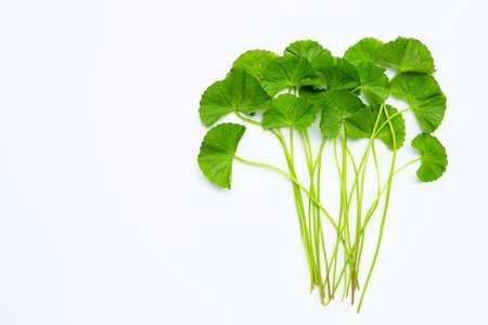 Fresh green Gotu kola on whitebackground. Copy space Stock Photo