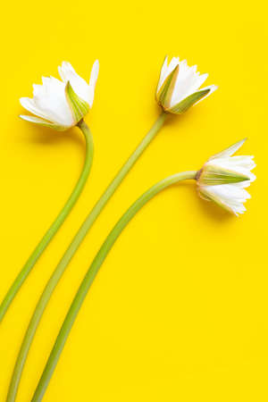 Blooming lotus fower on yellow white background. Top view