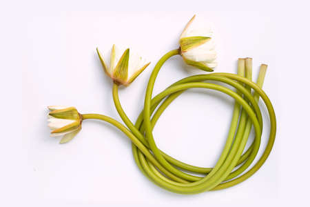 Green lotus stem with  blooming white fower on white background. Lotus stem for cooking. Top view