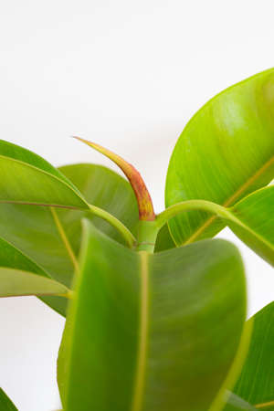 Green rubber plant leaves on white background.