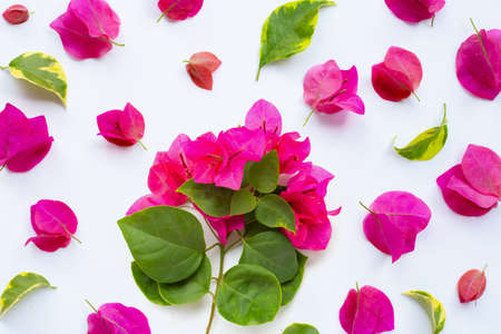 Beautiful red bougainvillea flower on white background. Banque d'images