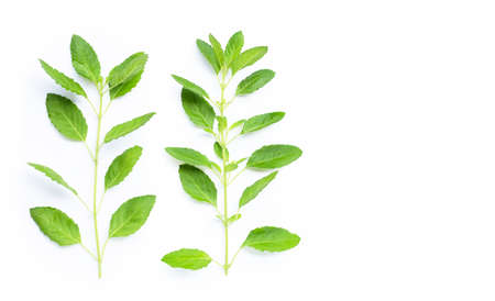 Fresh holy basil leaves on white background. Copy space Archivio Fotografico