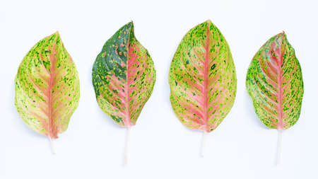 Colorful aglaonema leaves on white background.