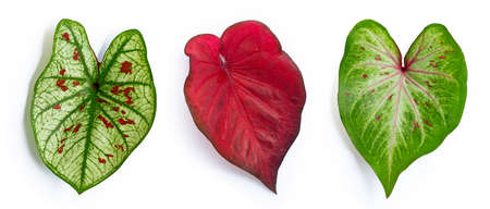 Caladium leaves on white background. Top view Stock Photo