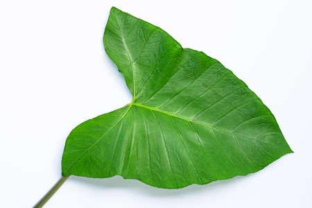 Taro leaf isolated on white background.