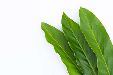Fresh galangal leaves isolated on white background.