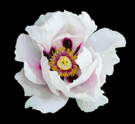 White peony flower macro photography isolated on black Foto de archivo