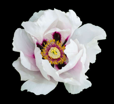 White peony flower macro photography isolated on black Imagens