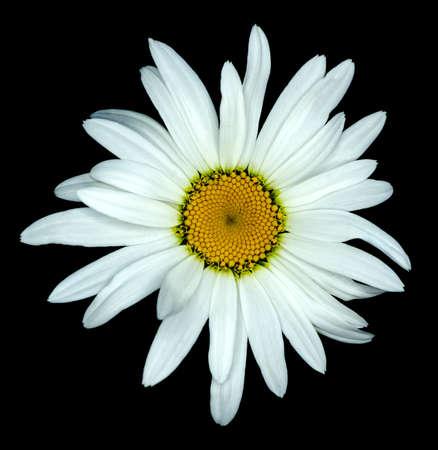 marguerite: Blanc fleur marguerite macro isol� sur noir