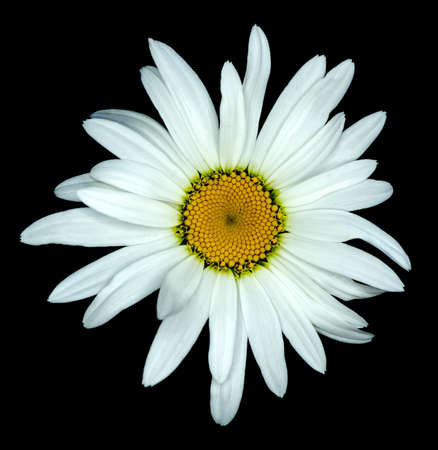 White daisy flower macro isolated on black