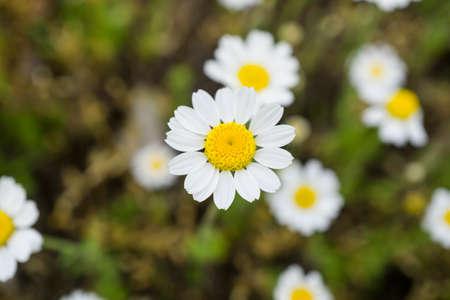 daisy: White daisies chamomiles macro Stock Photo