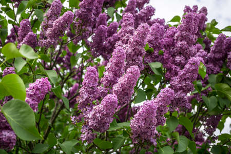 lilacs: Bunch of purple lilacs on background blue sky