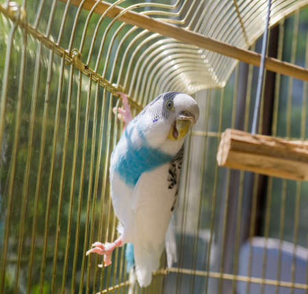 Blue and white parrot in golden cage