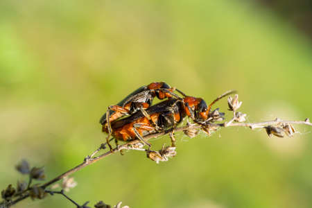 animal sex: Reproduction of two black and orange beetles on the plant Stock Photo