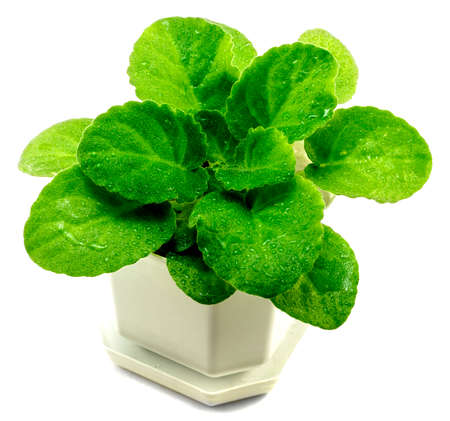 violets: Decorative violets bush in white flowerpot isolated on white
