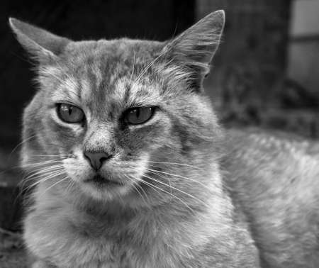 fearsome: Portrait of old fearsome highbred cat black and white