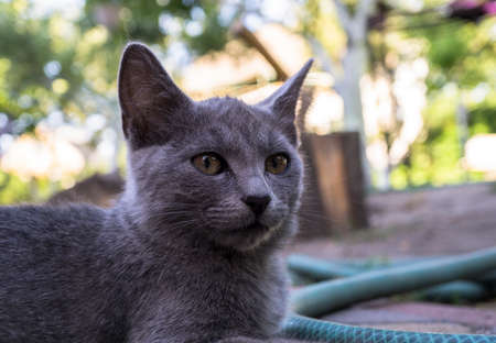 fearsome: Portrait of grey fearsome highbred cat