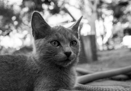 fearsome: Portrait of grey highbred cat black and white Stock Photo