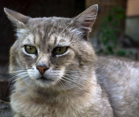 fearsome: Portrait of old fearsome highbred cat Stock Photo