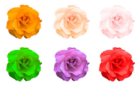 Mix collage of rose flowers: acid rose, violet, acid green, rose, orange, green isolated on white Imagens