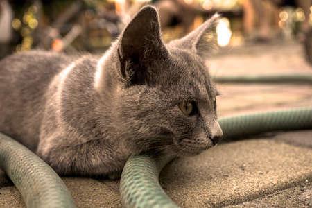 filtered: Portrait of grey highbred cat warm filtered