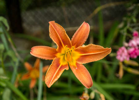 day lily: Orange and yellow day lily on green grass background Stock Photo