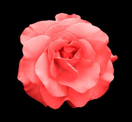 Acid rose rose flower macro isolated on black