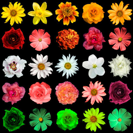 Mix collage of yellow, red, white, rose, green flowers: day lilies, Hemerocallis, clematis, roses, daisy, flax, decorative sunflower Helinthus, helenium, perennial aster, Primula isolated on black
