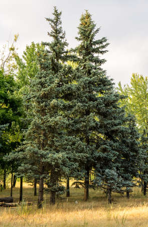 pine trees: Pine trees in the forest
