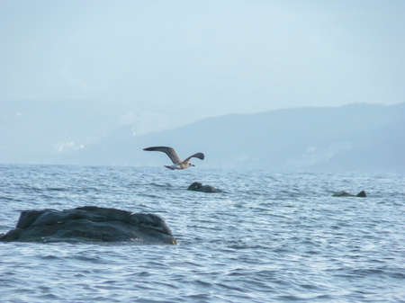 water bird: Seagull flying over the sea