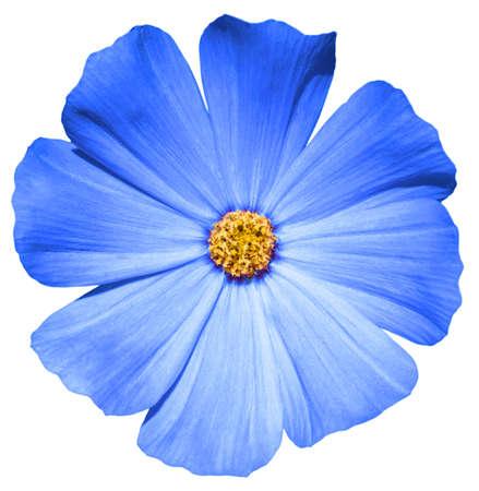 Blauwe bloem Primula geïsoleerd op wit Stockfoto