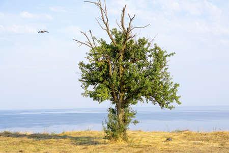 prideful: Ancient oak tree on mountain over sea
