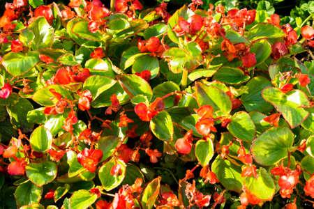 pulmonaria: Bush of red flowers lungwort Pulmonaria