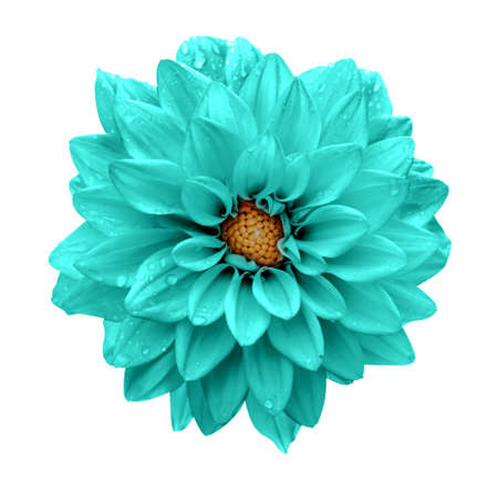 Turquoise flower dahlia macro isolated on white