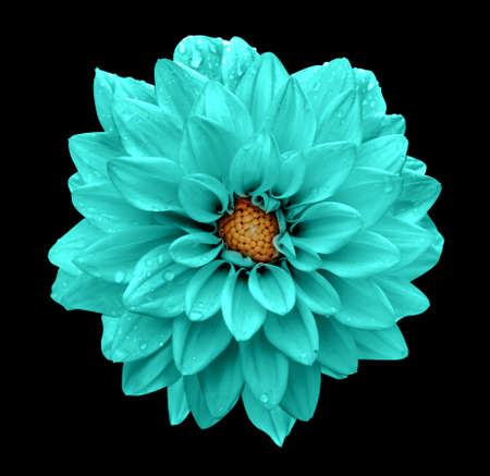 Turquoise flower dahlia macro isolated on black