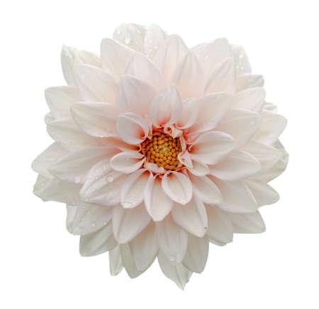 White flower dahlia macro isolated on white