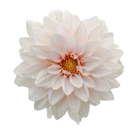 White flower dahlia macro isolated on white