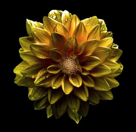 黒に分離されたシュール ダーク クローム ゴールド花ダリア マクロ 写真素材