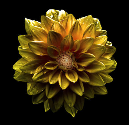 Surreal dark chrome gold flower dahlia macro isolated on black