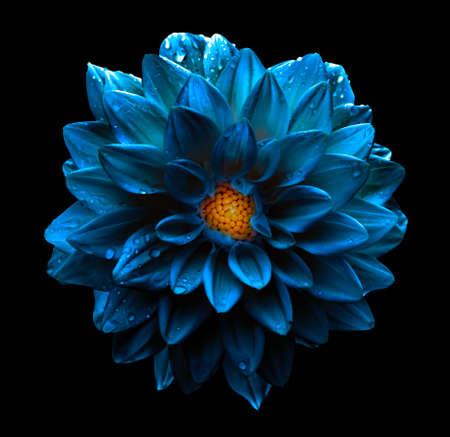 블랙에 고립 된 초현실적 인 어두운 크롬 푸른 꽃 달리아 매크로