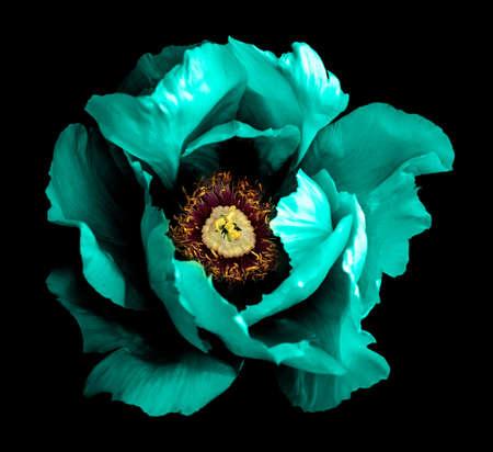 Surreal dark chrome cyan peony flower macro isolated on black 写真素材
